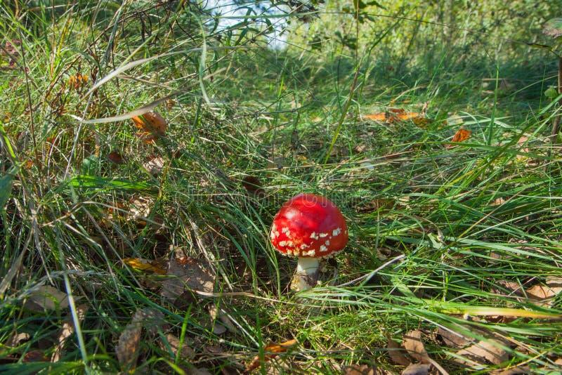 Κόκκινο amanita αγαρικών μυγών στην πράσινη χλόη σε ένα καθάρισμα στο δάσος στοκ εικόνα με δικαίωμα ελεύθερης χρήσης