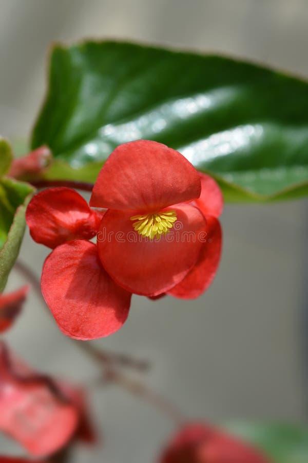 Κόκκινο begonia φτερών δράκων στοκ φωτογραφία με δικαίωμα ελεύθερης χρήσης