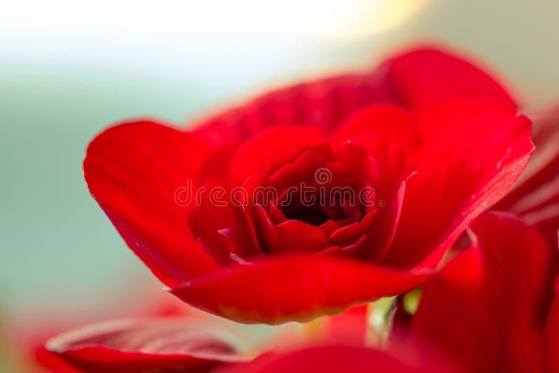 Κόκκινο begonia στοκ εικόνες με δικαίωμα ελεύθερης χρήσης