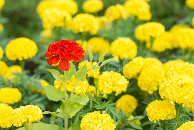 Κόκκινο calendula στο κίτρινο calendula στοκ εικόνα