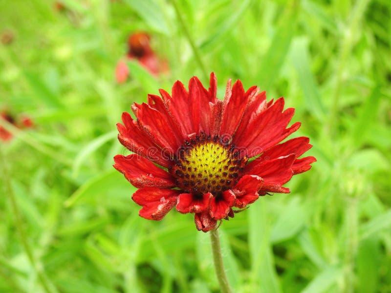 Κόκκινο chamomile λουλούδι στοκ φωτογραφίες με δικαίωμα ελεύθερης χρήσης