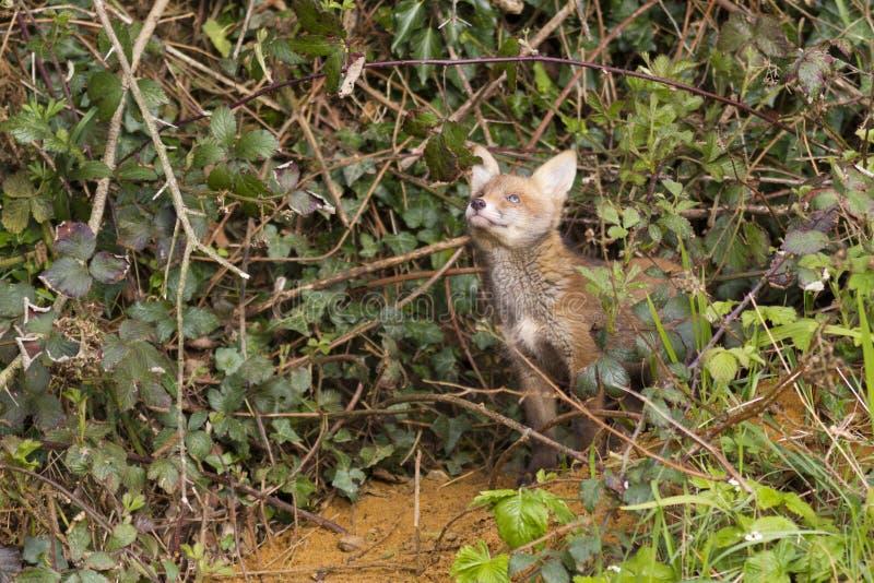 Κόκκινο cub αλεπούδων, Vulpes vulpes στοκ φωτογραφίες με δικαίωμα ελεύθερης χρήσης