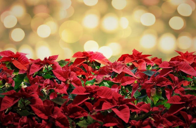 Κόκκινο deco εγκαταστάσεων Χριστουγέννων Poinsettia με τα φω'τα στοκ εικόνες