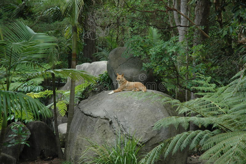 Κόκκινο Dingo στοκ φωτογραφίες