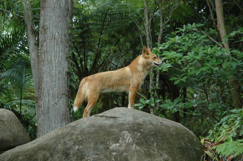 Κόκκινο Dingo στοκ εικόνες