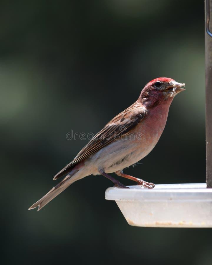 Κόκκινο Finch σπιτιών στοκ εικόνες