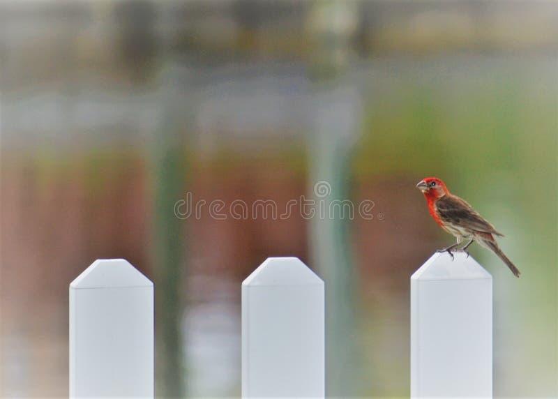 Κόκκινο Finch στοκ φωτογραφία με δικαίωμα ελεύθερης χρήσης