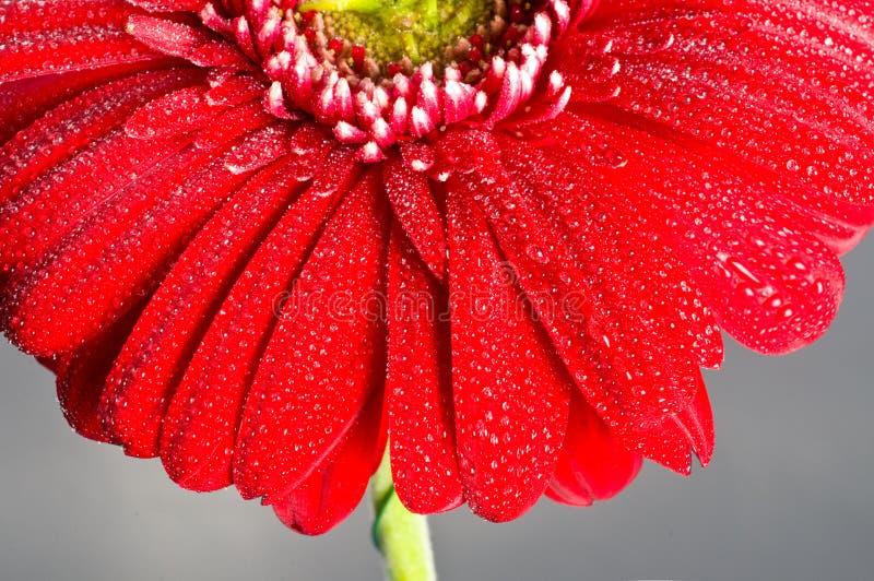 κόκκινο gerbera λουλουδιών κ&i στοκ φωτογραφία με δικαίωμα ελεύθερης χρήσης