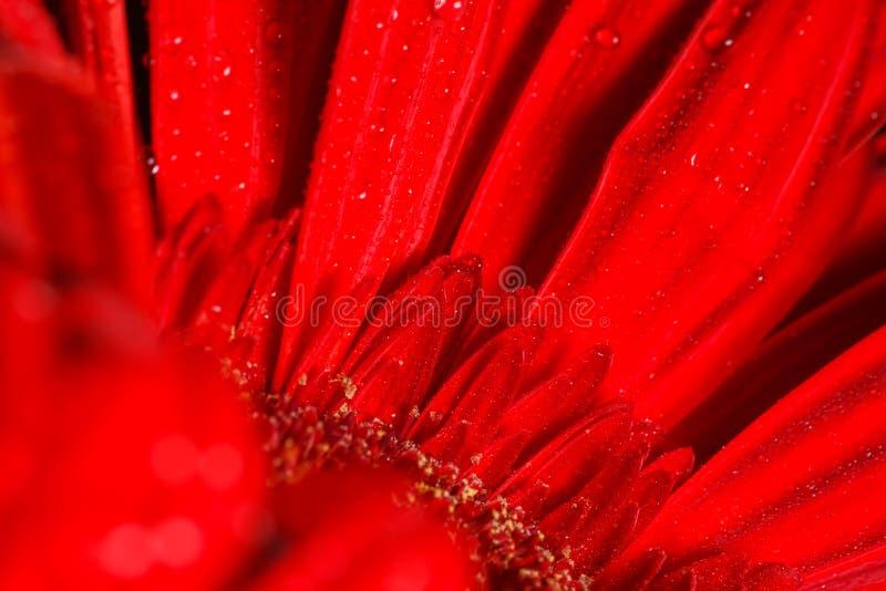 Κόκκινο gerbera στοκ φωτογραφίες