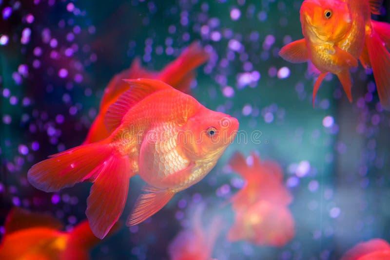 Κόκκινο Goldfish στοκ φωτογραφία με δικαίωμα ελεύθερης χρήσης