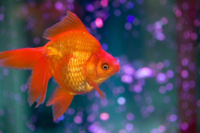 Κόκκινο Goldfish στοκ φωτογραφίες
