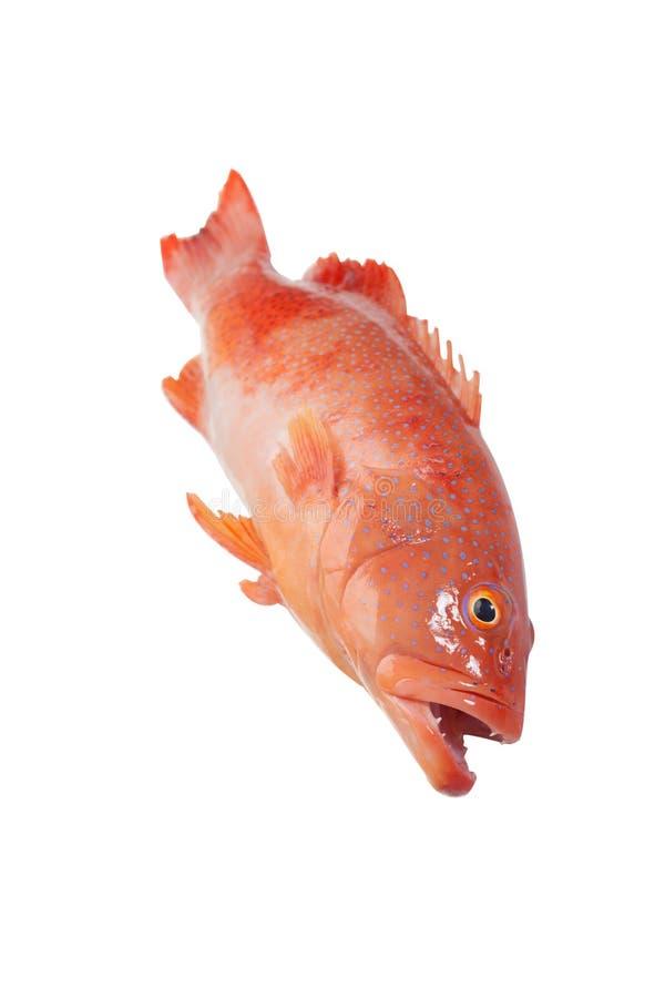 Κόκκινο grouper στοκ εικόνα με δικαίωμα ελεύθερης χρήσης