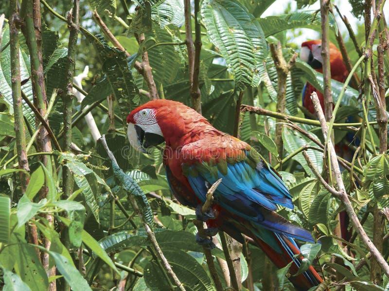 Κόκκινο Guacamayo στοκ εικόνες