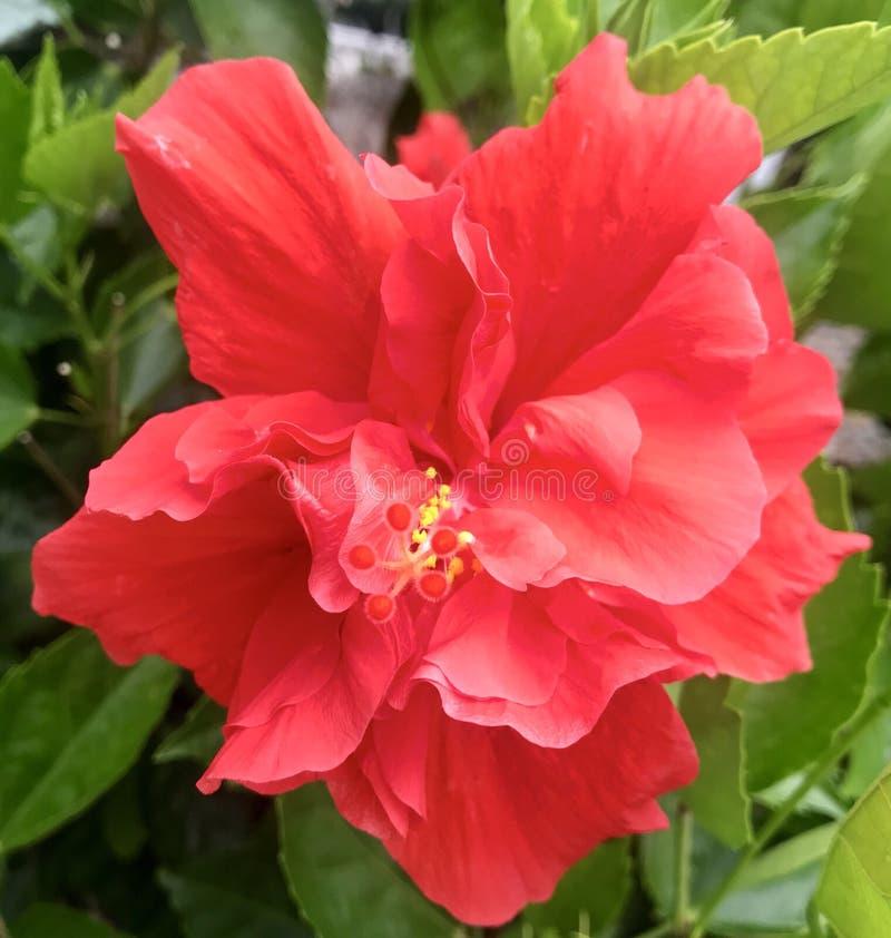 Κόκκινο hibiscus λουλούδι στοκ εικόνες με δικαίωμα ελεύθερης χρήσης