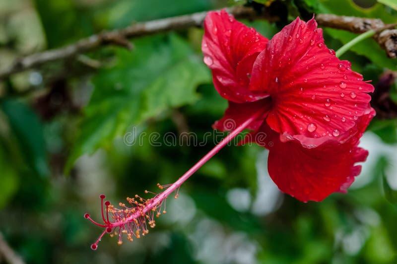 Κόκκινο hibiscus τροπικό λουλούδι που καλύπτεται στα σταγονίδια βροχής δροσιάς στην άνθιση στοκ φωτογραφία
