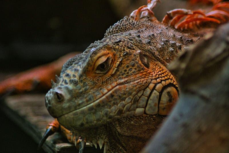 Κόκκινο iguana στοκ φωτογραφία