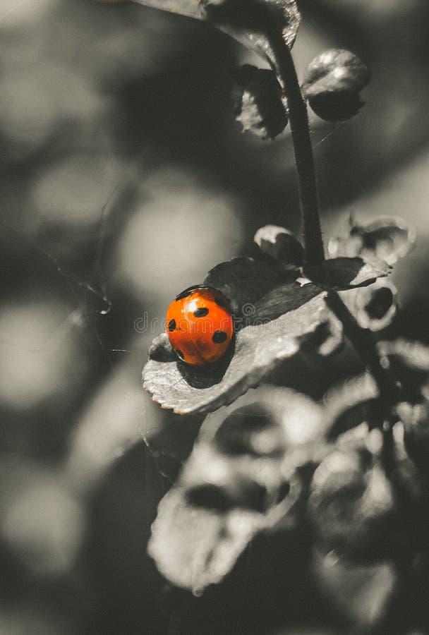Κόκκινο ladybug στην άδεια στοκ εικόνες