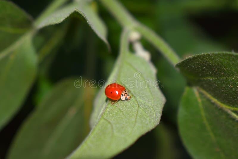 Κόκκινο ladybug στο πράσινο φύλλο στοκ φωτογραφίες με δικαίωμα ελεύθερης χρήσης