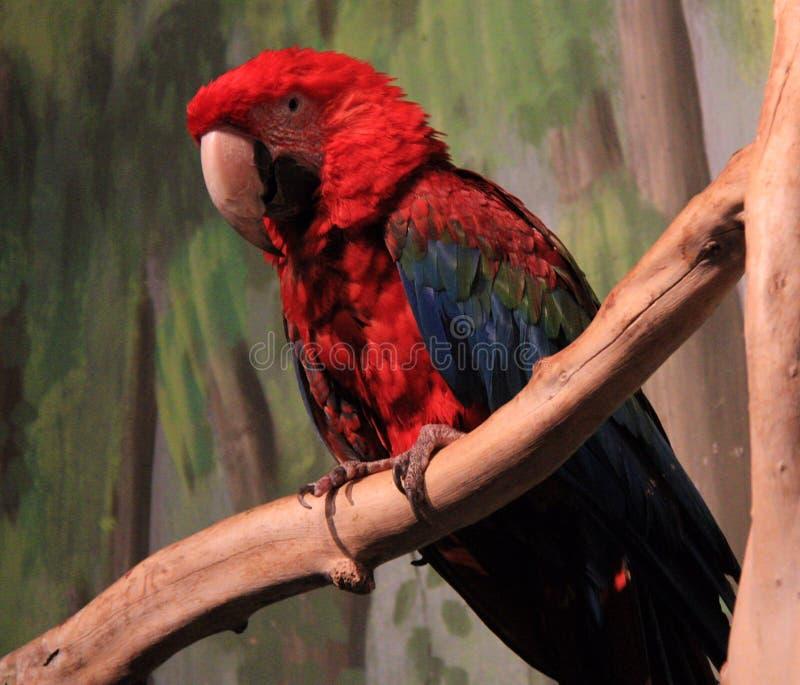 Κόκκινο Macaw στοκ φωτογραφία με δικαίωμα ελεύθερης χρήσης