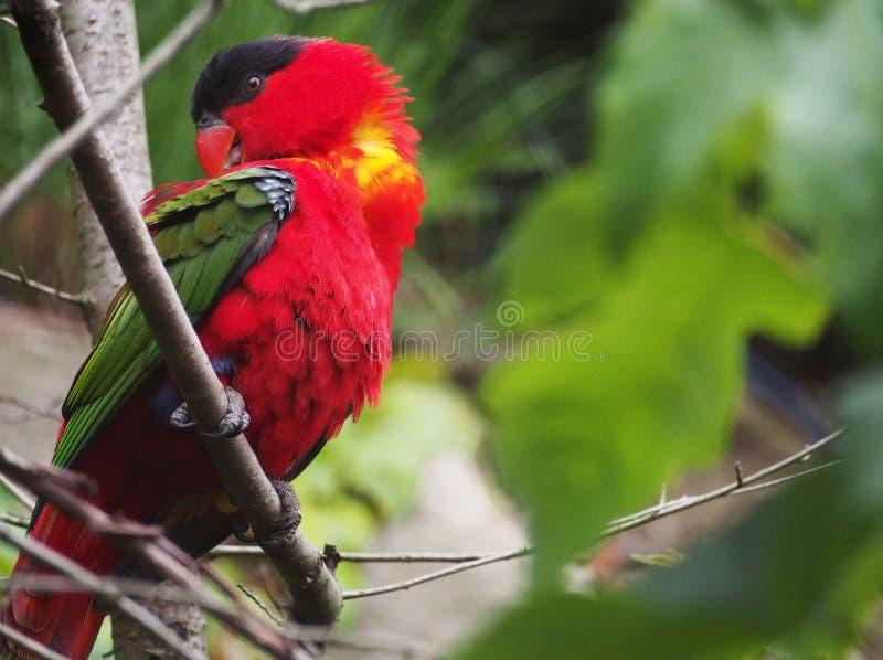 Κόκκινο Maccaw στοκ φωτογραφία με δικαίωμα ελεύθερης χρήσης