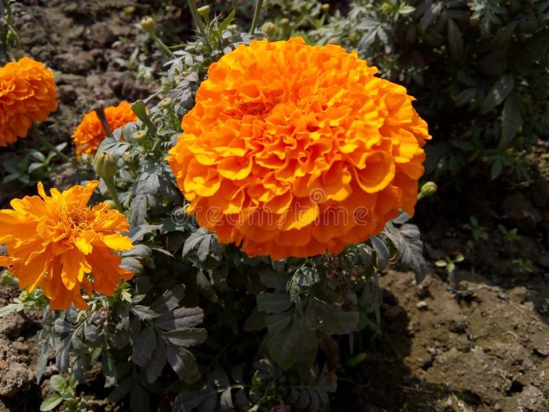 Κόκκινο marigold στοκ εικόνες με δικαίωμα ελεύθερης χρήσης