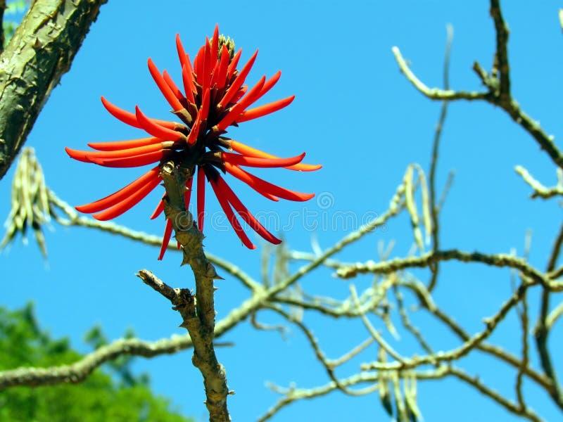 Κόκκινο mulungu Erythrina λουλουδιών πάθους στοκ φωτογραφία