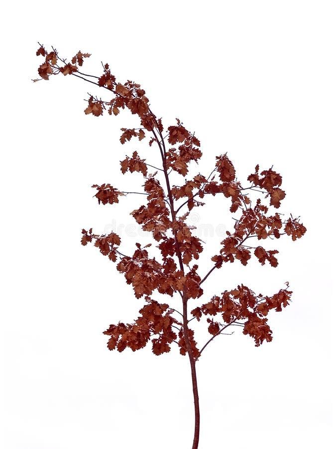 κόκκινο oaktree στοκ φωτογραφίες