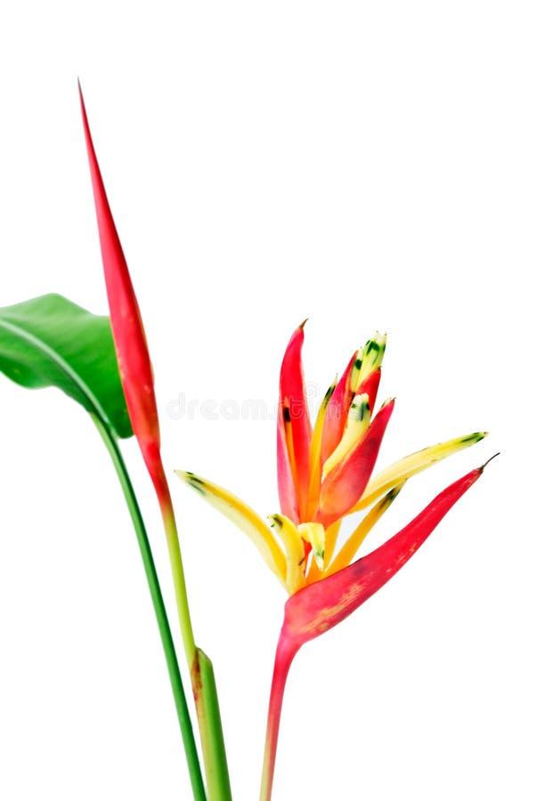 Κόκκινο Orchid στην άσπρη ανασκόπηση στοκ φωτογραφίες