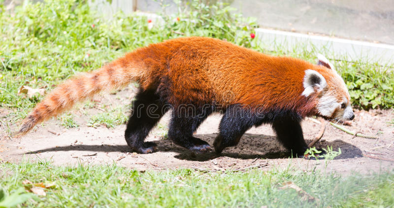 Κόκκινο panda στοκ φωτογραφίες με δικαίωμα ελεύθερης χρήσης