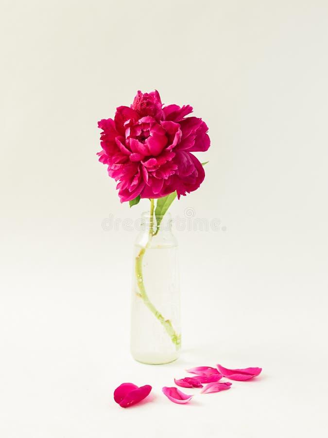 Κόκκινο peony λουλούδι σε ένα βάζο γυαλιού σε ένα απομονωμένο λευκό υπόβαθρο Φρέσκα λουλούδια r r στοκ φωτογραφίες με δικαίωμα ελεύθερης χρήσης
