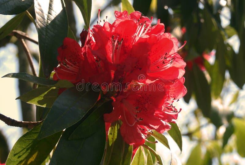Κόκκινο Rhododendron λουλούδι το Μάιο στοκ φωτογραφία με δικαίωμα ελεύθερης χρήσης
