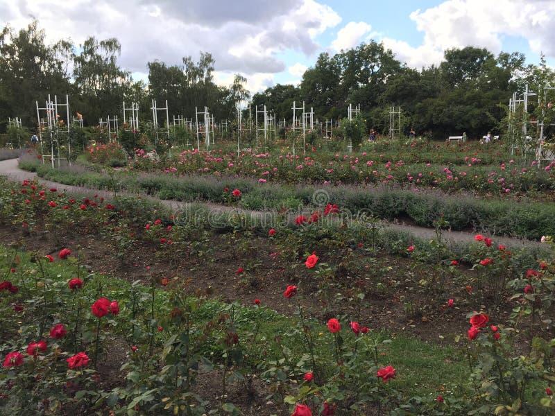 Κόκκινο Rose Garden στοκ εικόνα με δικαίωμα ελεύθερης χρήσης