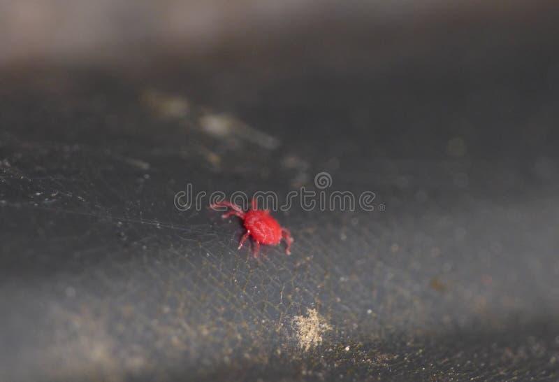 Κόκκινο sucker αίματος ακαριών βελούδου - μακρο στενός επάνω στοκ φωτογραφία