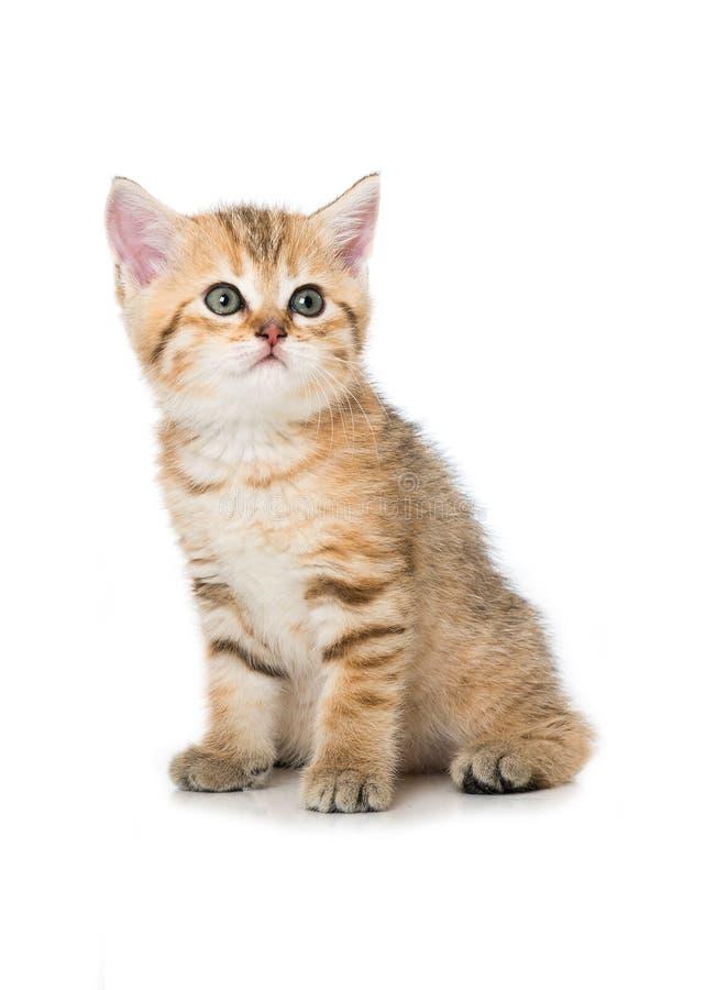Κόκκινο tabby british shorthair kitten σε λευκό φόντο στοκ φωτογραφία