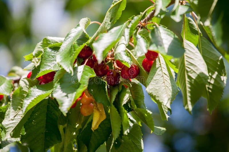 Κόκκινο yummy κεράσι στο δέντρο στοκ εικόνες