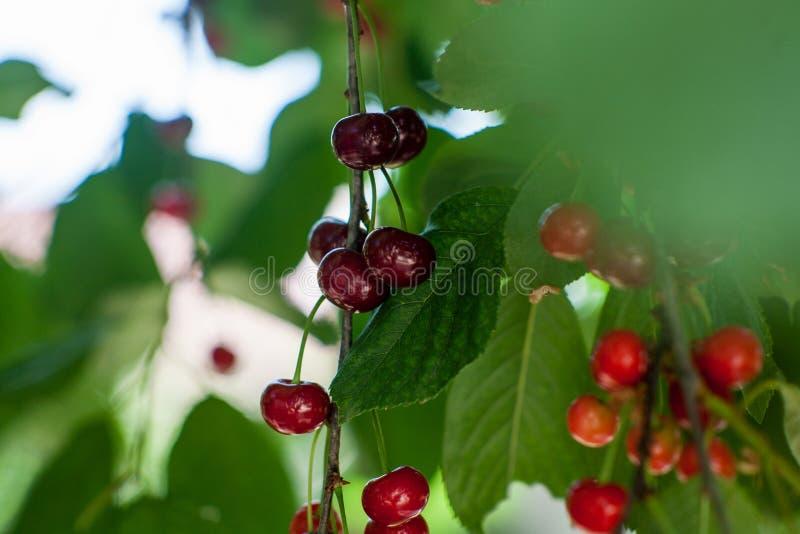Κόκκινο yummy κεράσι στο δέντρο στοκ φωτογραφία