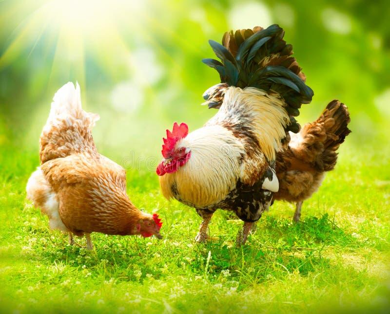 Κόκκορας και κοτόπουλα στοκ εικόνα με δικαίωμα ελεύθερης χρήσης