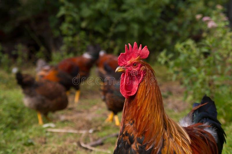 Κόκκορας με τα κοτόπουλα στο υπόβαθρο στοκ φωτογραφίες με δικαίωμα ελεύθερης χρήσης