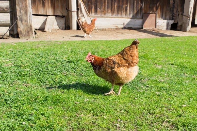 Κόκκορας, πουλερικά, κοτόπουλο, στοκ φωτογραφία με δικαίωμα ελεύθερης χρήσης