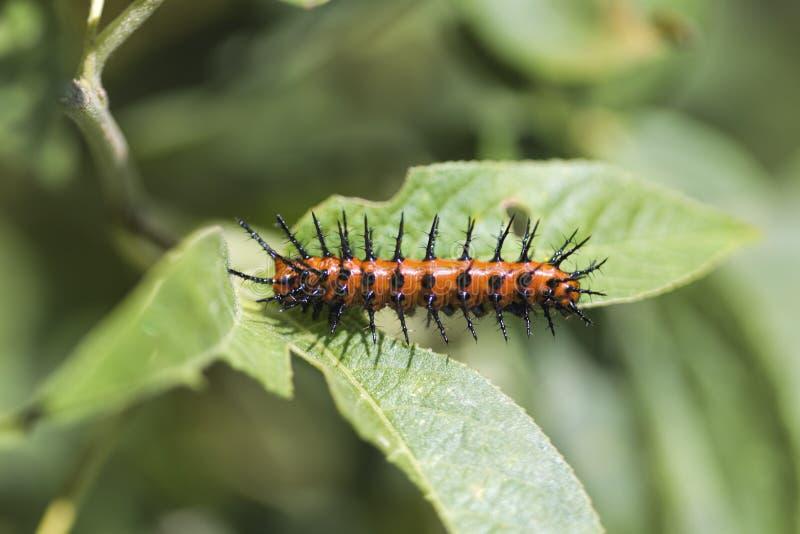 Κόλπος Fritillary Caterpillar - vanillae Agraulis στοκ εικόνες με δικαίωμα ελεύθερης χρήσης