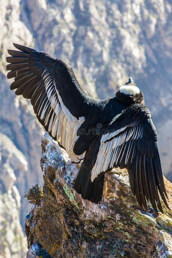 Κόνδορας στη συνεδρίαση φαραγγιών Colca, Περού, Νότια Αμερική. Αυτό είναι ένας κόνδορας το μεγαλύτερο πετώντας πουλί στοκ φωτογραφίες με δικαίωμα ελεύθερης χρήσης