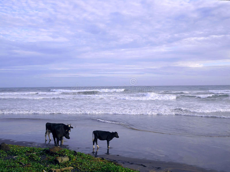 Κόρακας στην παραλία Ινδικού Ωκεανού στοκ εικόνα με δικαίωμα ελεύθερης χρήσης