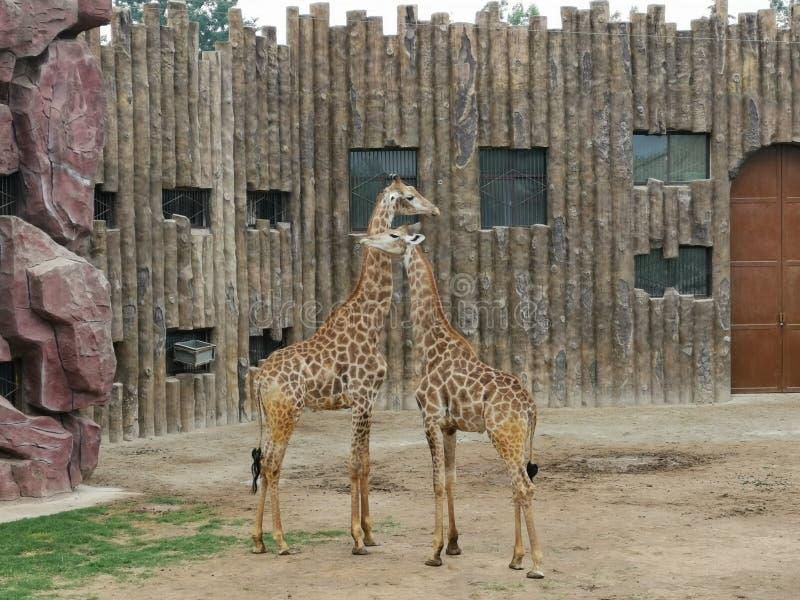 Κόσμος άγριας φύσης Jinan Giraffe@, Shandong Κίνα στοκ φωτογραφία με δικαίωμα ελεύθερης χρήσης