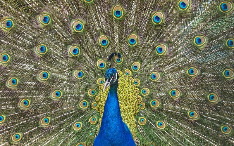 Κόσμος άγριων ζώων Peacock με την ανοικτή ζωηρόχρωμη ουρά στοκ εικόνες