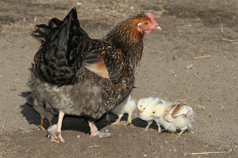 κότα κοτόπουλων στοκ εικόνες