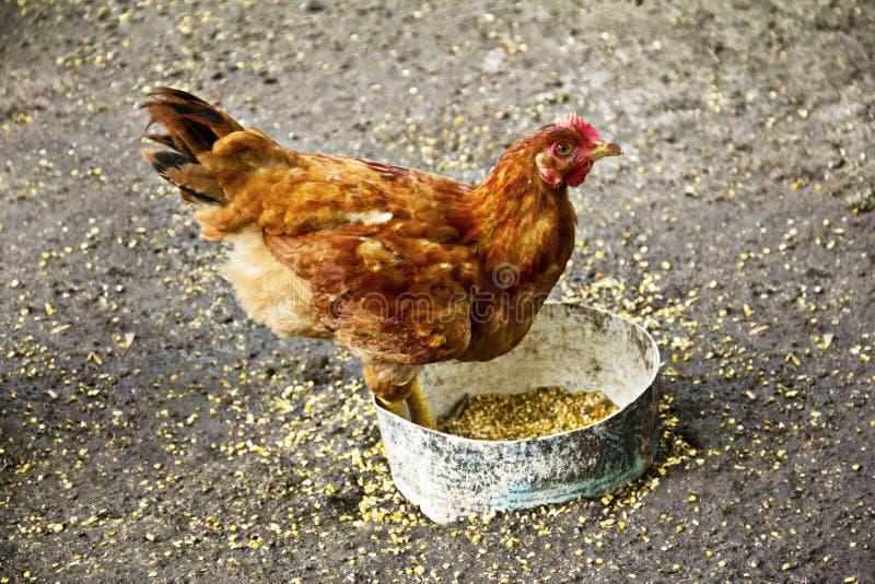 Κότα κοτόπουλου που ψάχνει την τροφή στοκ εικόνες με δικαίωμα ελεύθερης χρήσης