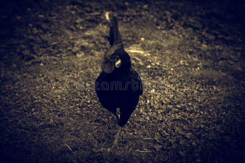 Κότα πουλερικών κοκκόρων στοκ εικόνα με δικαίωμα ελεύθερης χρήσης