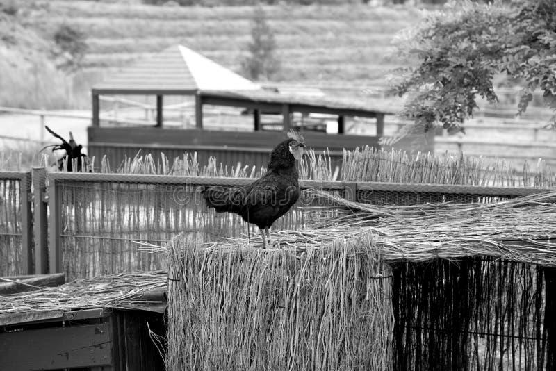 Κότα πουλερικών κοκκόρων στοκ εικόνες