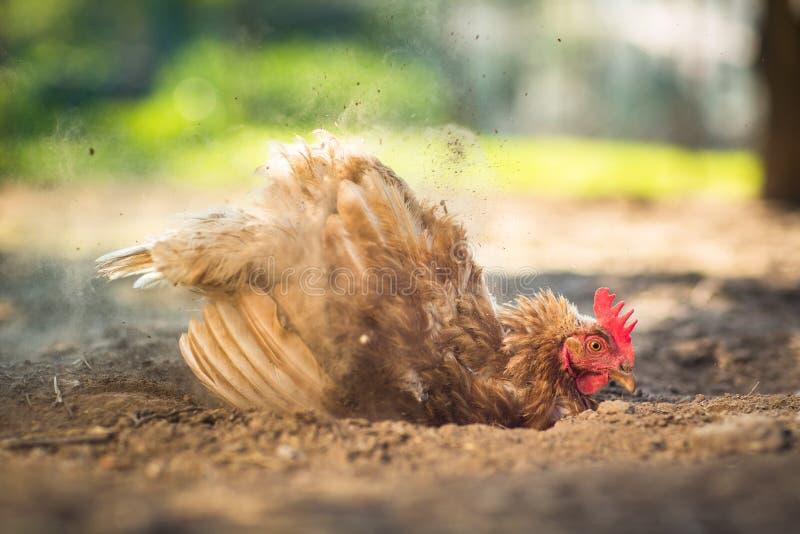 Κότα σε μια αυλή στοκ εικόνες