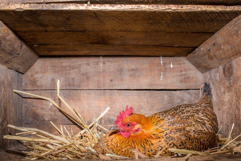 Κότα στο κοτέτσι κοτόπουλου στοκ εικόνα με δικαίωμα ελεύθερης χρήσης